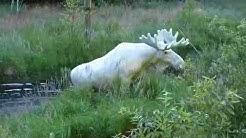 Valkoinen hirvi ( Белый лось )