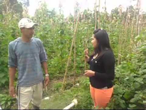 Efectos Nocivos Secundarios por la Utilizacion del Insecticida Furadan en los Cultivos de Frijol