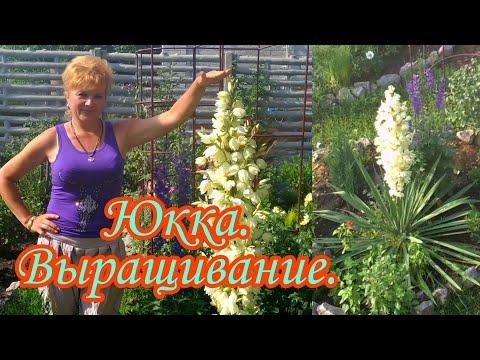 Юкка нитчатая.Выращивание.Уход.#Дача#Сад СветаСветланы#Цветники#Неприхотливые растения#