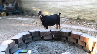 Goat VS Dog: Mudslide & Zeni
