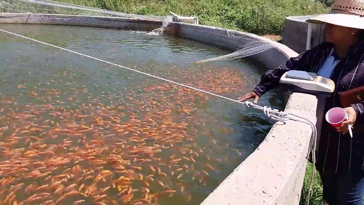 Produccion de tilapia roja y tilapia gift en tanques for Construccion de estanques circulares para tilapia
