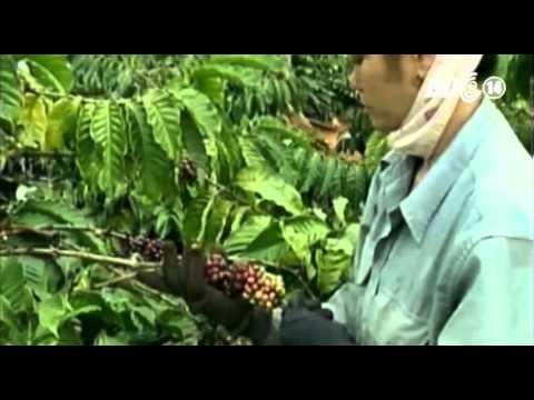 VTC14_Hàng loạt doanh nghiệp cà phê bị thanh tra