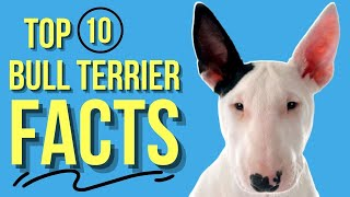 Bull Terrier: TOP 10 Facts ( Eveyone Should Know )