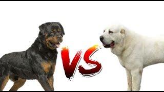 РОТВЕЙЛЕР VS АЛАБАЙ | ANIMALS VERSUS | САМАЯ ЖЁСТКАЯ БИТВА НА КАНАЛЕ!!!
