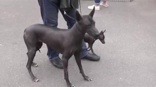 Мексиканская безшерстная собака, Ксолоитцкуинтли видео с выставки собак в Великом Новгороде