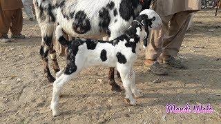 Heavy Patira Bakra And Family At Hira Goat Farm  - Asim Shaikh