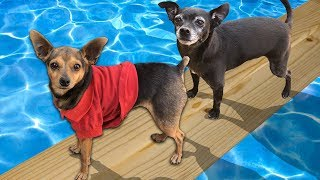 Last Dog to Fall in The POOL Wins! ($10,000 Challenge)