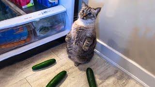 Gatos Graciosos  Videos de Risa de Gatos Chistosos #233