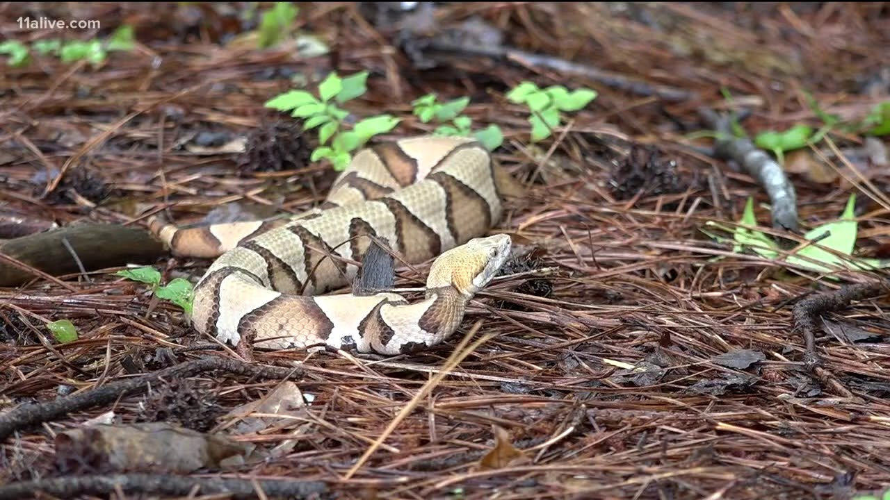 Your guide to the six venomous snakes in Georgia | 11alive com