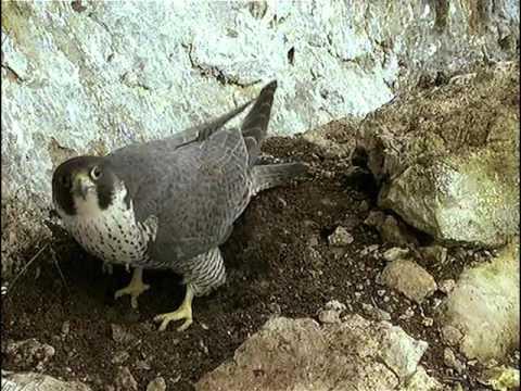 La falaise aux faucons pèlerins