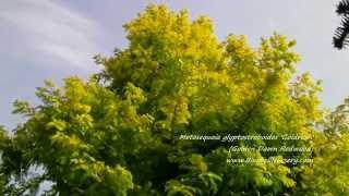 Metasequoia glyptostroboides 'Goldrush' video