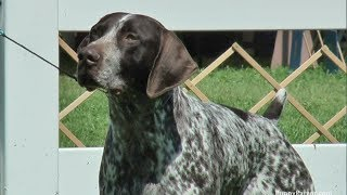 German Shorthaired Pointer - Specialty Dog Show