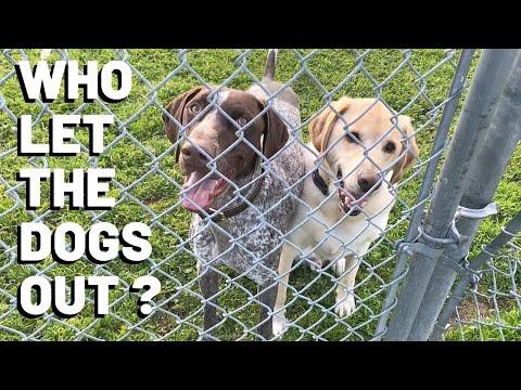 Lockdown Day 5 | German Shorthaired Pointer & Labrador Retriever