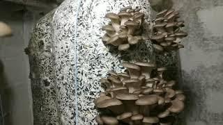 описание штамма Вешенки М2191.Какой штамм гриба Вешенка выбрать