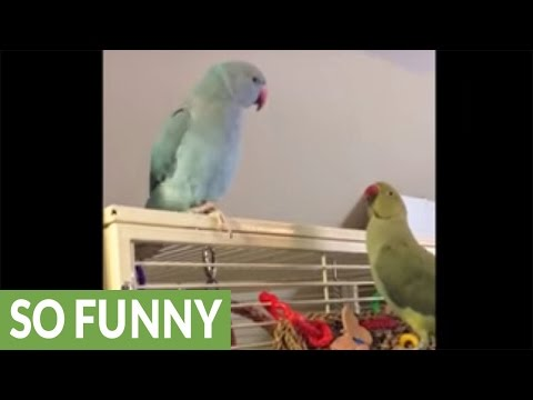 Parakeet brothers hysterically make conversation and kissing sounds