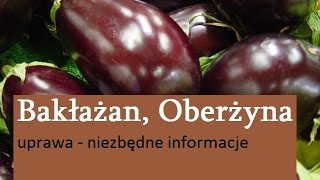 Bakłażan, Oberżyna - uprawa
