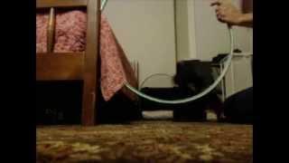 Poodle Jumping Through Hoop Dog