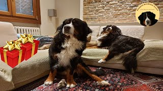 MY DOGS FREAK OUT OVER PRESENTS! Funny Bernese Mountain dog reaction - Dustin&Penny