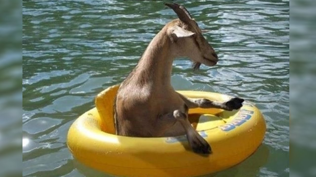Download This is why GOATS&SHEEP are the FUNNIEST ANIMALS