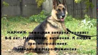 НЕМЕЦКИЕ овчарки  и ВЕО в ДОБРЫЕ РУКИ! Москва. Суки
