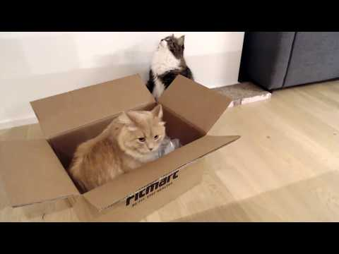 Live:Siberian cats having fun in a box, playing and jumping