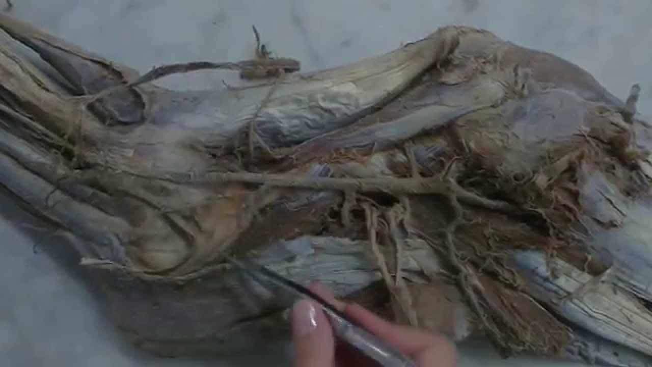 arterias miembro toracico equino - YouTube