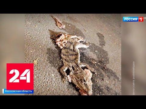 В Подмосковье под машину попал крокодил - Россия 24