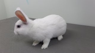 Clover the Bunny is Neutered