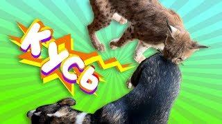 LYNX SIMBA AND HANNAH BUTT / Simba meets a dog