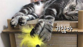 초보 집사랑 놀아주는 매너리즘에 빠진 고양이