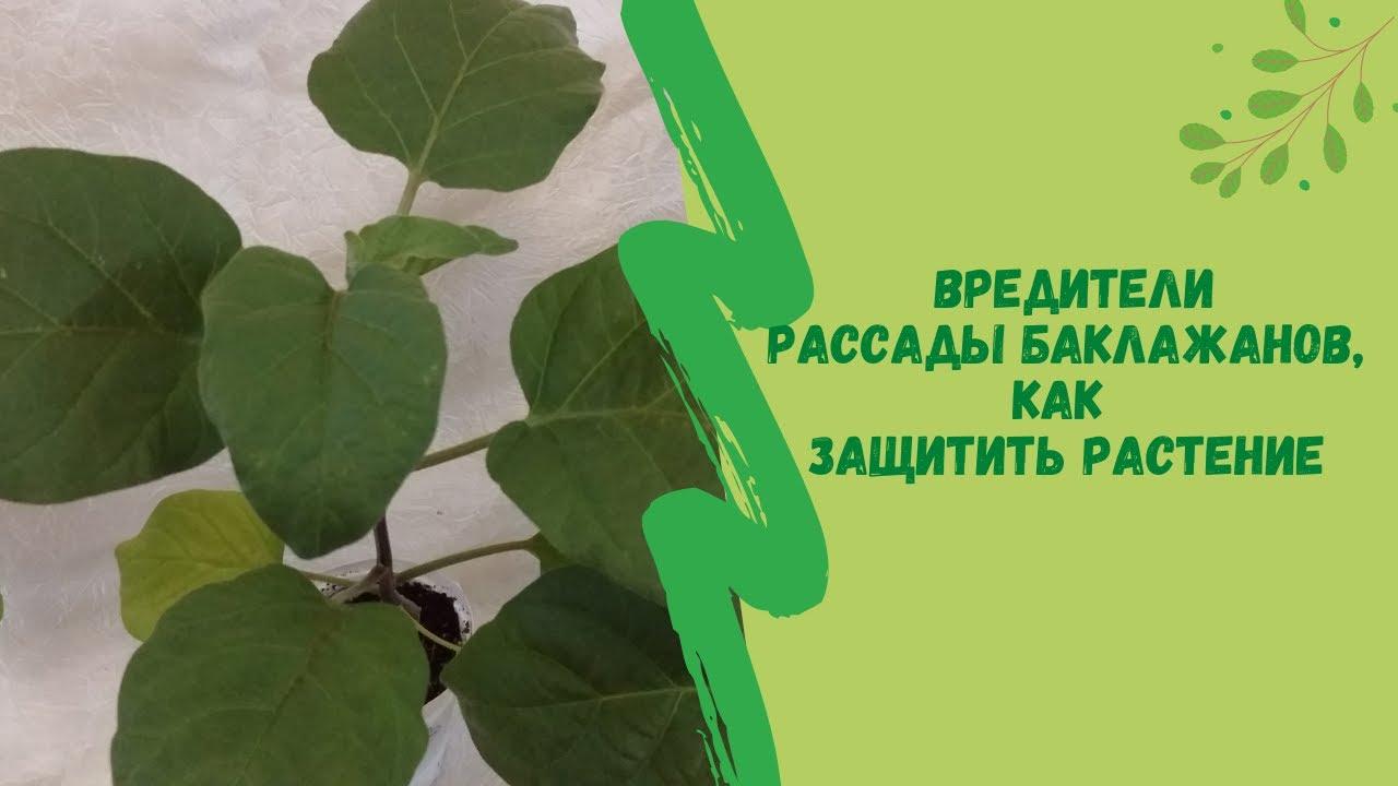 Вредители рассады баклажанов, как защитить растение