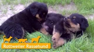 Rottweiler Welpen In Stavenhagen