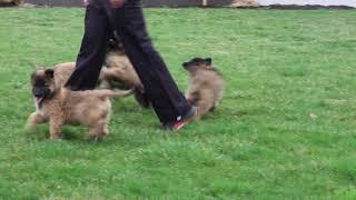 Belgian Tervuren Puppies For Sale