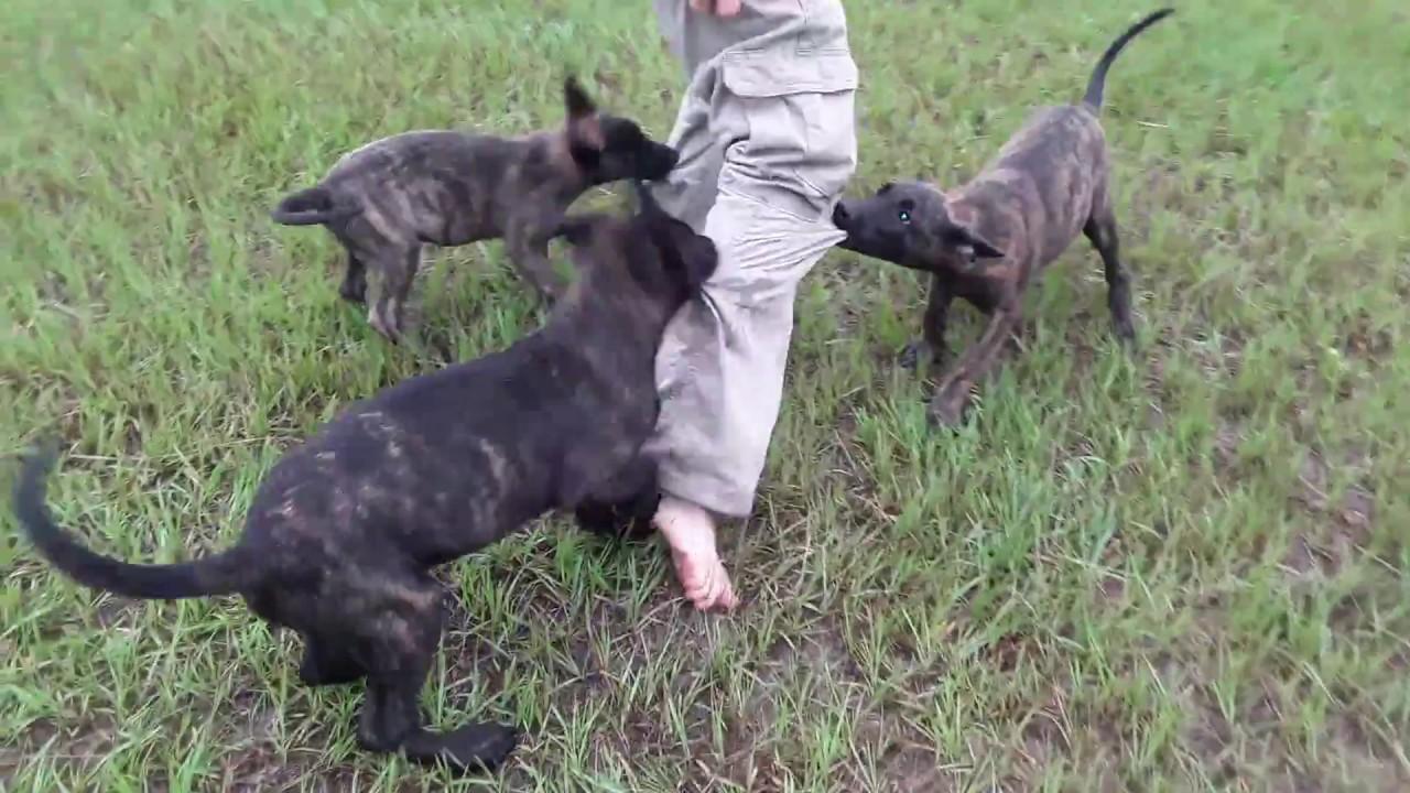dutch shepherd vs belgian malinois