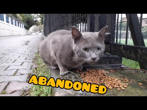 Abandoned Korat Breed Cat in The Street.