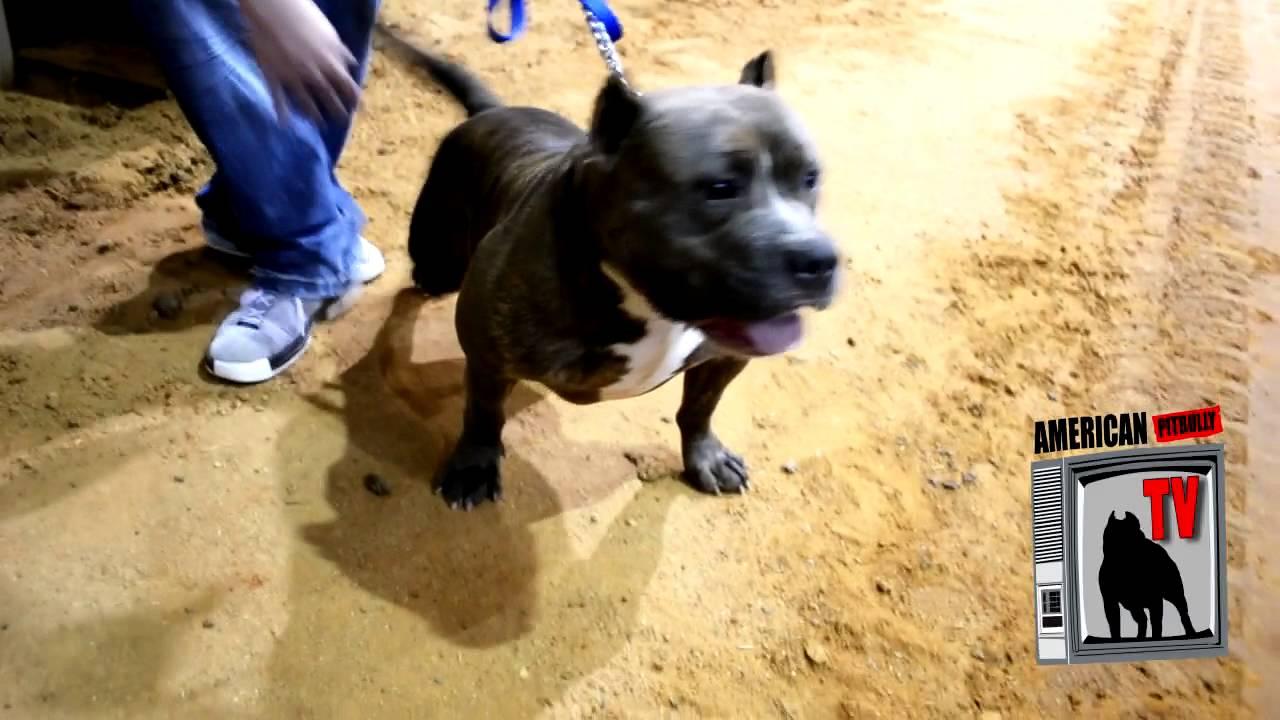 Cajun Bulls Kennels - Surge and Jewel