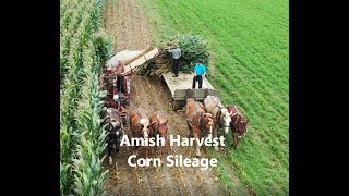 Lancaster County Amish Harvesting Corn For Sileage