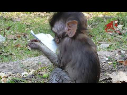 What baby monkey doing?, Real life of baby monkey in Angkor, Monkey Camp part 558