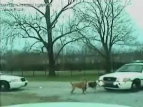 Pitbull Dog Attacks Police Car...Good Boy!!!