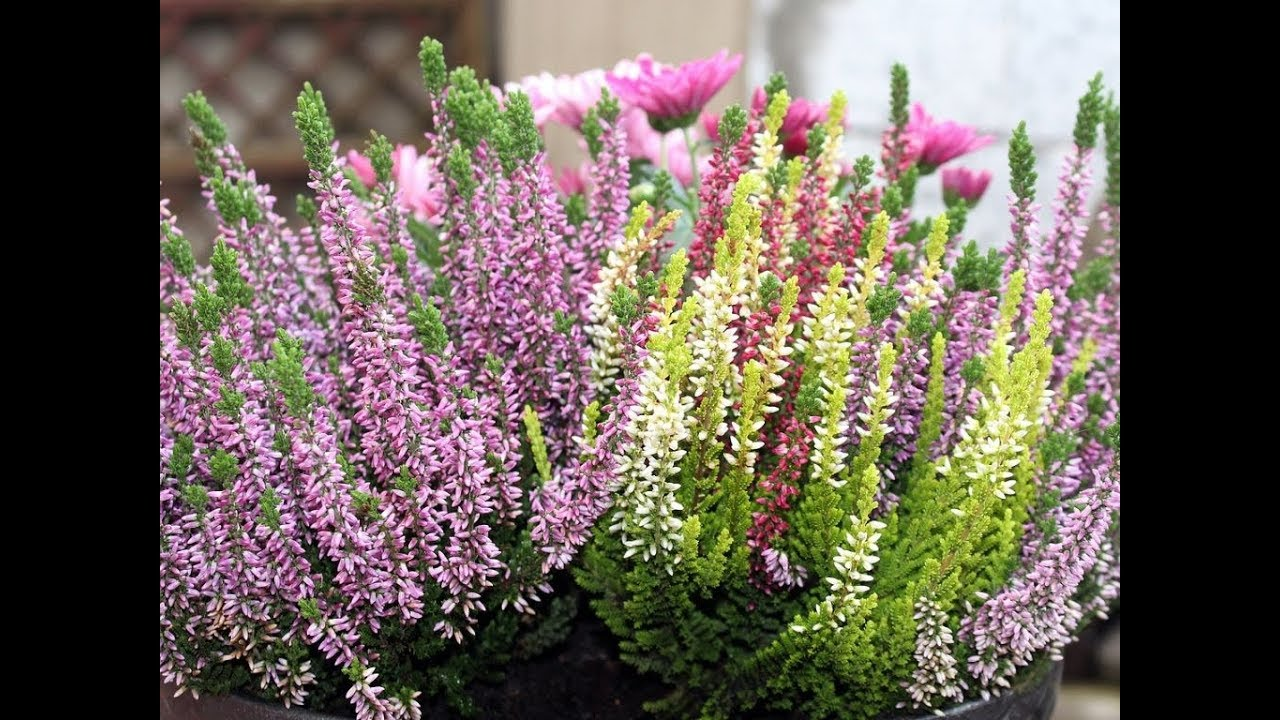 Amazing And Most Beautiful Heather Flowers Calluna Vulgaris Youtube