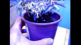 Цветущий Каланхоэ Дегремона. Flowering Kalanchoe Daigremontiana. ч.3(Снято 14-05-2015. Спустя две недели после обрезки и пересадки., 2016-05-19T20:07:49.000Z)