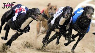 Dog race - Greyhounds Racing  - Track race