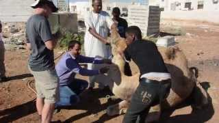 Are Camels the Key to Stopping MERS-CoV?