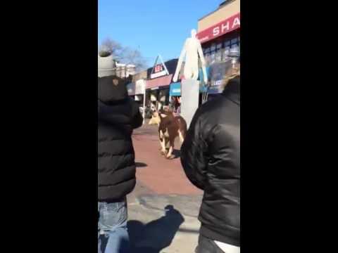 Una vaca se escapó del matadero y salió a correr por Nueva York: se salvó