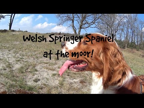 Welsh Springer Spaniel at the moor!