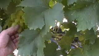 видео Виноград Аксинья