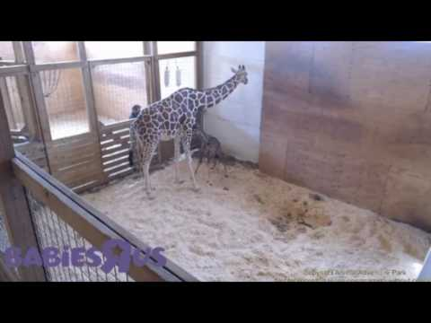 Thumbnail: April the Giraffes gives birth - helps her baby walk!