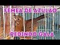 Fêmea de Azulão Pedindo Gala ✔ #PassaradaBrasilOficial