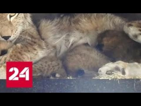 В Московском зоопарке родились сразу четверо рысят - Россия 24