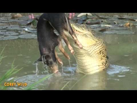 Crocodile VS Wild Boar    Wildlife - Animals